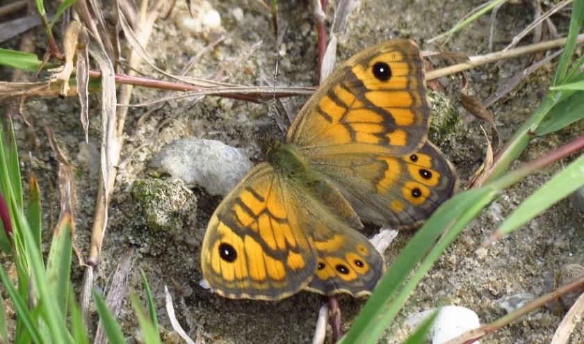 Argusvlinders zijn in de afgelopen jaren helaas uit Ambacht verdwenen. Foto:  Albert Molenaar.