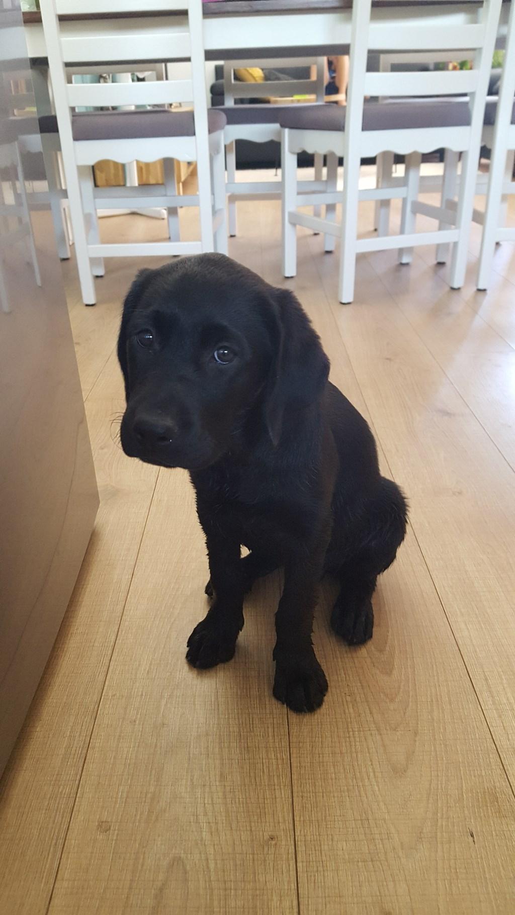 Labrador Lilly (Vanessa Bagchus)  © deMooiLaarbeekkrant