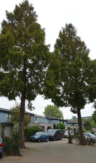 Twee van de gedoemde metasequoia's. | Foto: C. v.d. Laan