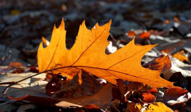 Een afgevallen herfstblaadje van de Amerikaanse eik.