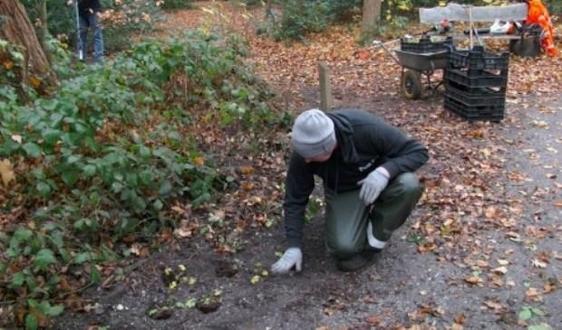 De fa. Punt plant de bollen in 't Overbosch. | Foto: pr.