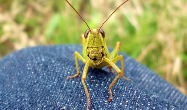 Zouden er sprinkhanen in de insectencakejes gaan?