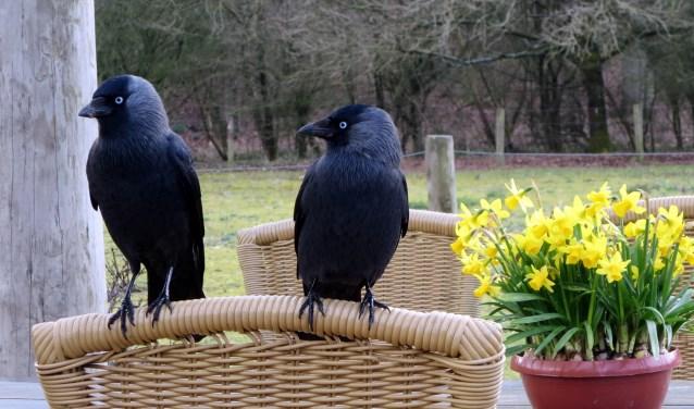 Twee kauwtjes, vogels die je vaak tegenkomt in woonwijken.