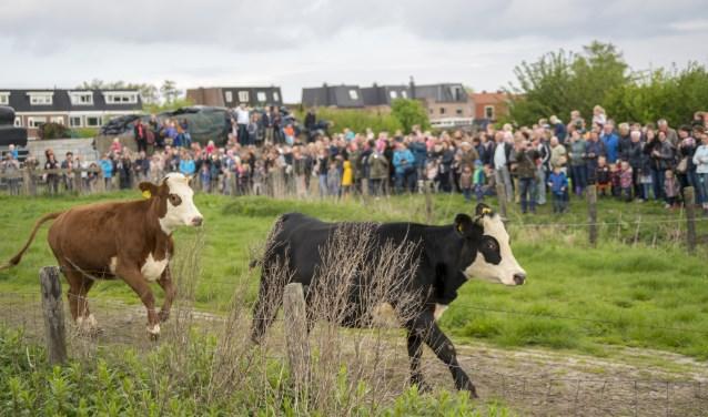 Het is altijd een prachtig gezicht: de koeien die voor het eerst weer de frisse wei in hollen, ook wel dansen genoemd. Wat een vrolijkheid, koeien en publiek genieten!