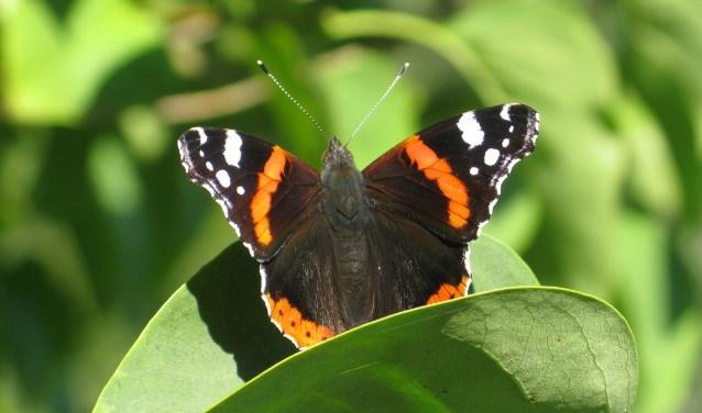 De atlanta is van april tot november te gast in Nederland, in herfst trekt de vlinder naar Zuid-Europa.