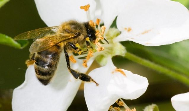 Bijen hebben het moeilijk tegenwoordig: met name door een tekort aan bloemen. | Foto: pr