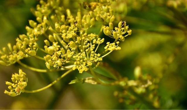 In verdord gras proberen soms andere planten het over te nemen, zoals de wilde pastinaak. | Foto: Pixabay