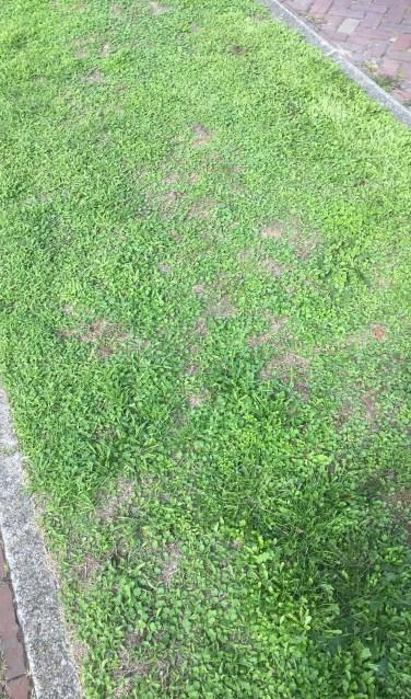 In sommige bermen zie je nu hele matten van verschillende soorten kiemplanten, waar weinig gras tussen zit.