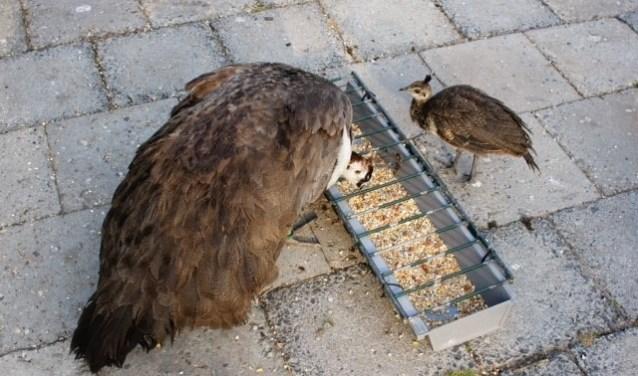 De dieren in Park Rusthoff worden door vrijwilligers gevoerd. Het is niet toegestaan zelf brood aan de beesten te voeren. | Foto: pr./: Hennie de Bok