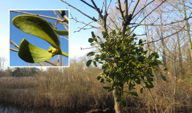 Als experiment groeit ook in de Leidse regio een maretak.