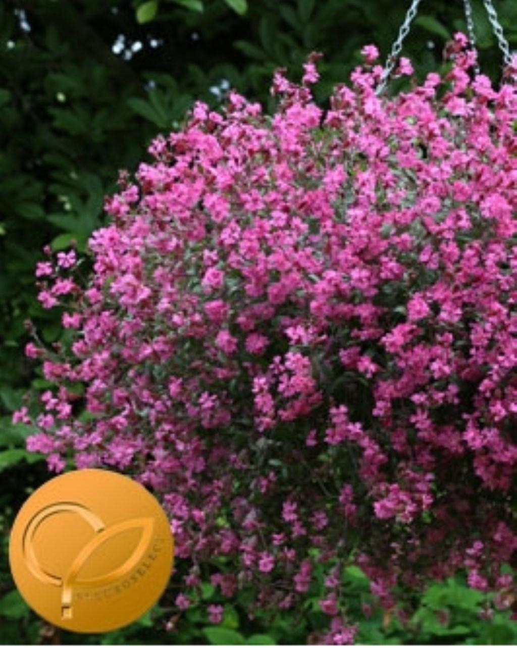 silene sibella rose Foto: Fleuroselect © Verhagen