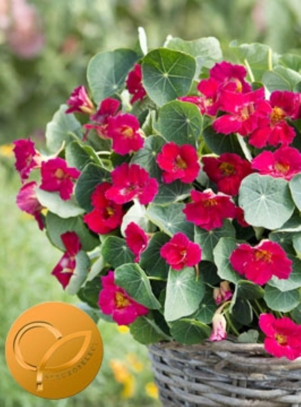 tropaeolum baby rose Foto: Fleuroselect © Verhagen