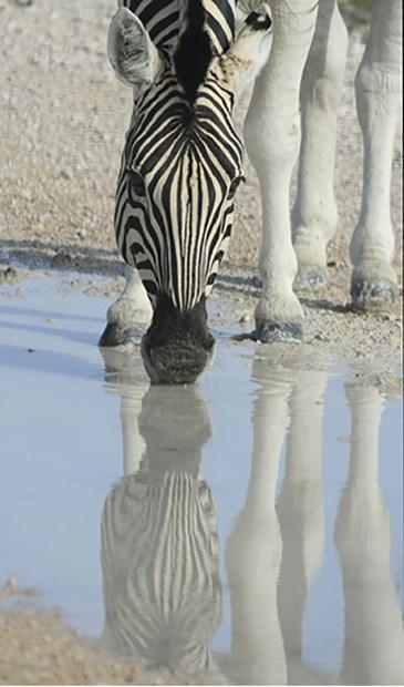 Zebra weerspiegeld in het water. Foto: pr © uitgeverij Verhagen
