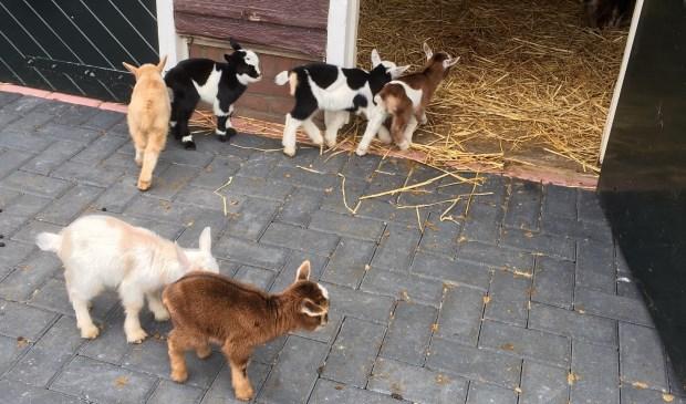 Zes geitjes van krap een week oud in de Leiderdorpse kinderboerderij. Het zijn net speelgoedbeestjes.