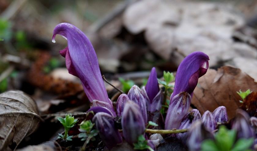De fraaie paarse prachtschubwortel is een parasitaire plant die zijn energie pikt uit de wortels van de boom waar hij onder groeit.