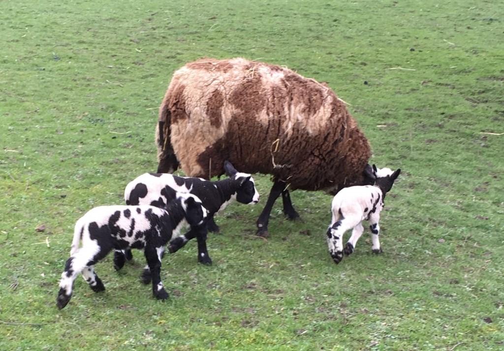 De vorige week maandag geboren lammetjes met moeder schaap in de grote wei.  Foto: Els Jasperse © uitgeverij Verhagen