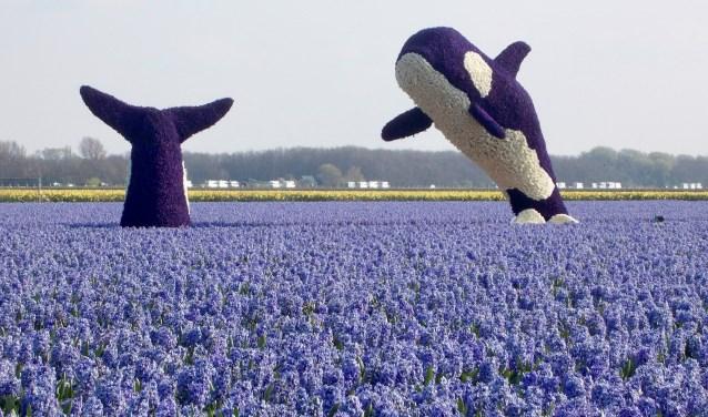 De springende orca's zijn goed voor de tweede prijs.   Foto: Piet de Boer