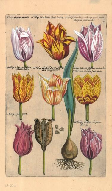 De bollencatalogus is in prent gebracht door graveurs in de 17e eeuw.
