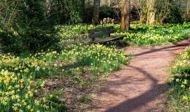 De afgelopen weken stonden narcissen in volle bloei in het stinsenbos. | Foto: J.P. Kranenburg