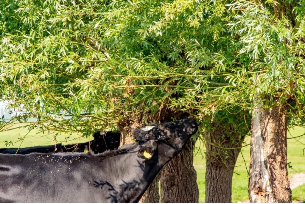 De koeien van Jan de Graaf knabbelen graag aan de bomen die nu al rond de wei staan.  Foto: J.P.Kranenburg © uitgeverij Verhagen