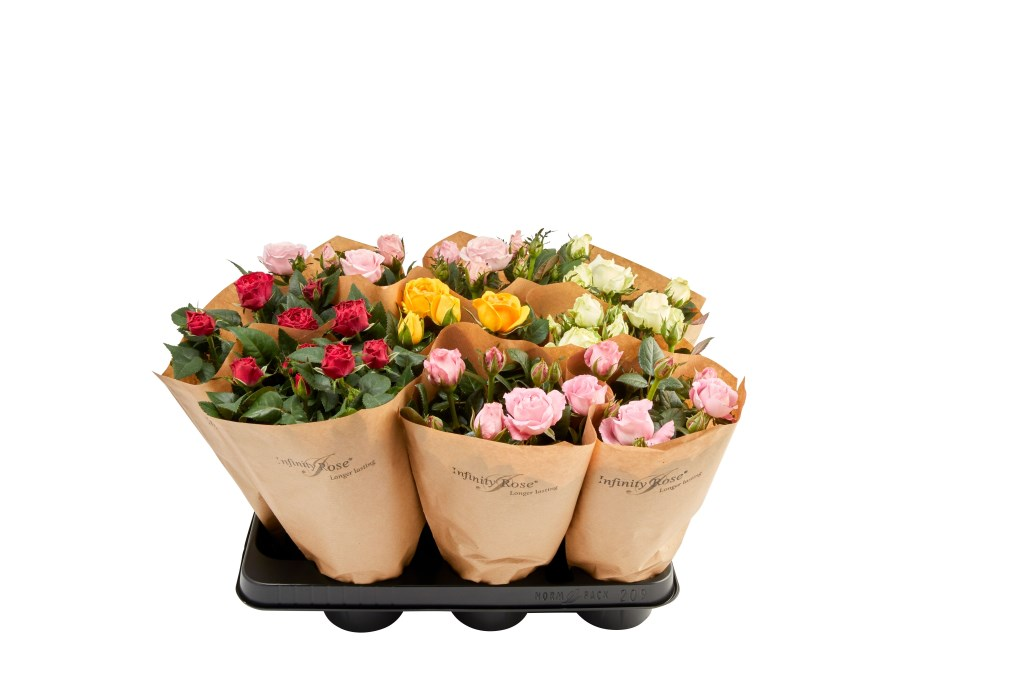 Foto: roses for ever © Verhagen