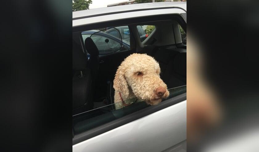 Een hond in de auto laten? Dan in ieder geval met een raampje open! | Foto: Cri