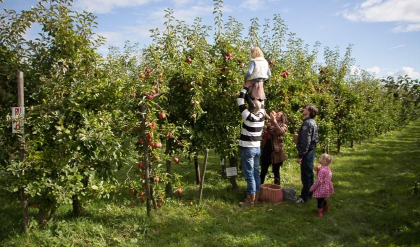Zelf appels plukken van de boom, dat kan vanaf half september.