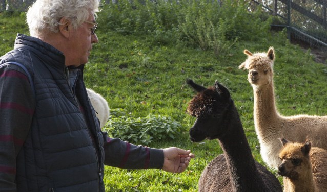 Harry van Oers bij de alpaca's in het Kleindier-Wandelpark. Foto: Michel van de Langenberg