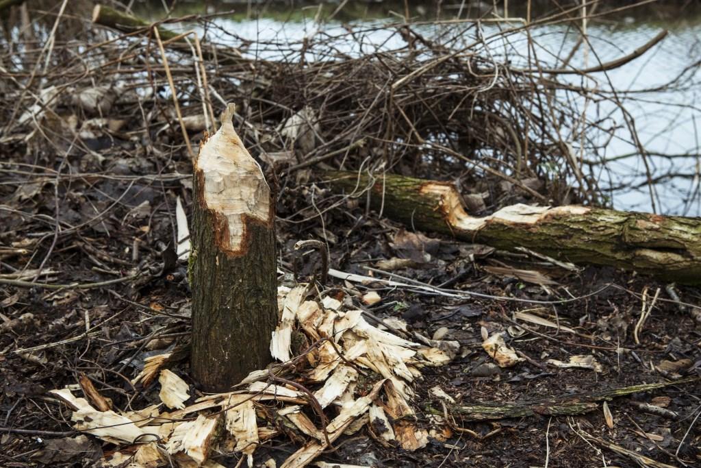 Sporen van de bever zijn overal te vinden in Eendenkooi Maaspoort. Foto: Michel van de Langenberg  © bosscheomroep.nl