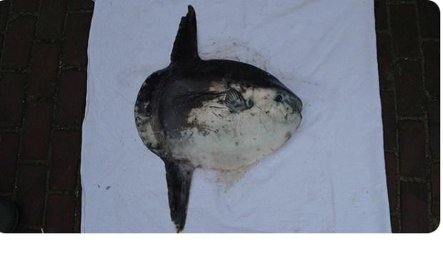 De maanvis die aanspoelde op het strand van De Muy (Foto: Ecomare).