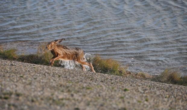 Deze haas ontvlucht de ondergelopen Schorren. (Foto: Jett Ruigrok).