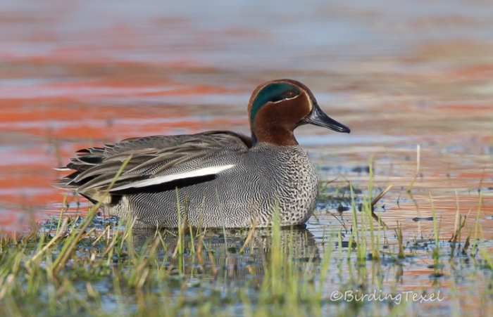 Wintertaling / Krickente / Common Teal