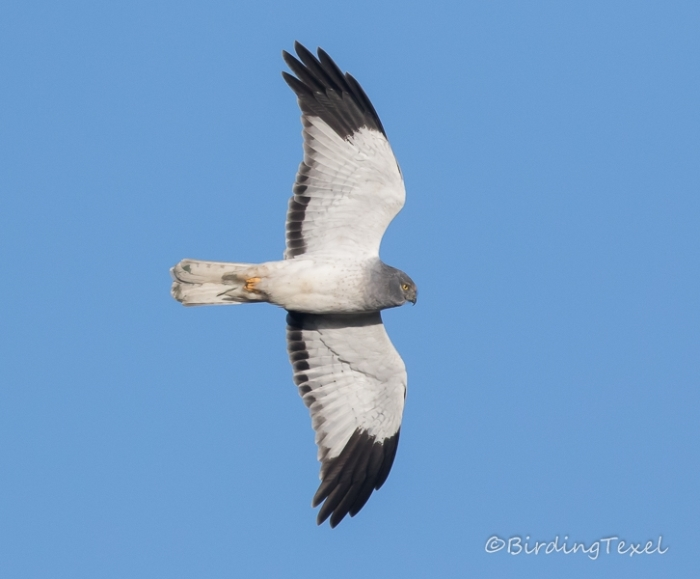 Blauwe Kiekendief/Kornweihe/Hen Harrier