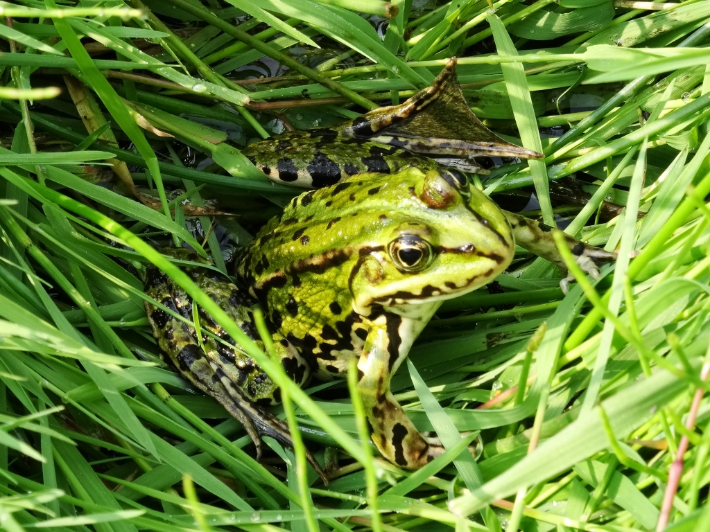 Groene kikker in De Nederlanden Jolanda  Knoop © Mediabureau Langeveld & De Rooy