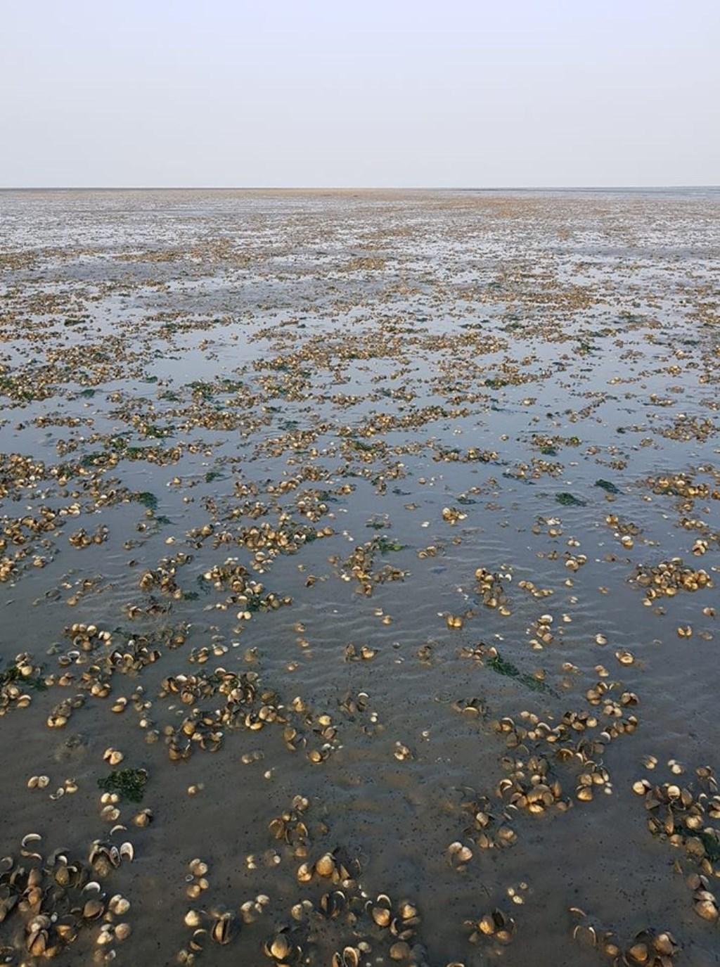 Massale Sterfte Kokkels Op Waddenzee
