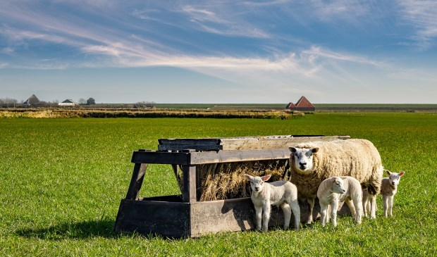 Lammetjes als onderdeel van een Texels landschap