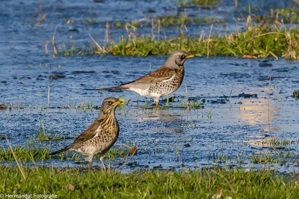 Kramsvogels Foto: Herman Hendriks © Hét Gemeentenieuws