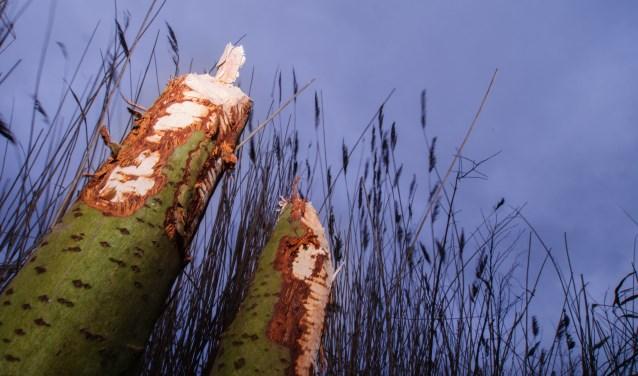 Knaagsporen van bevers (foto: Peter Eekelder)