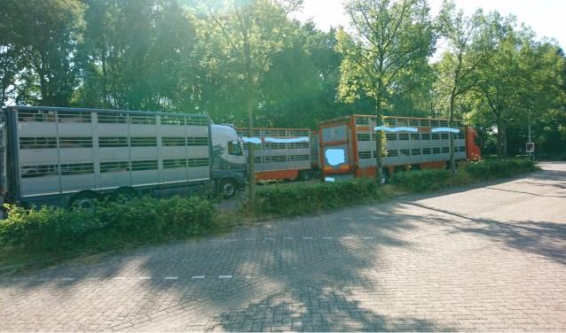 Varkens in de hitte wachtend op de laatste tussenstop voor hun dood (foto: Fleur Bes)