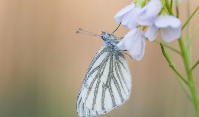 De vlinder 'geaderd witje'. (foto: Helma Groenen)