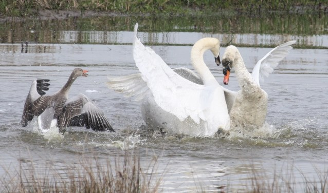 13 april. Dappere grauwe gans probeert twee vechtende knobbelzwanen te verjagen! (foto: Henk van der Kooij)