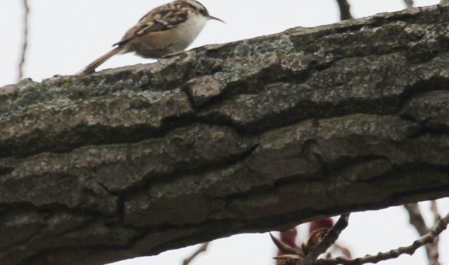 4 april. Voedselzoekende boomkruiper op brede tak van een forse populier, Rijnbandijk Lienden. (foto: Henk van der Kooij)