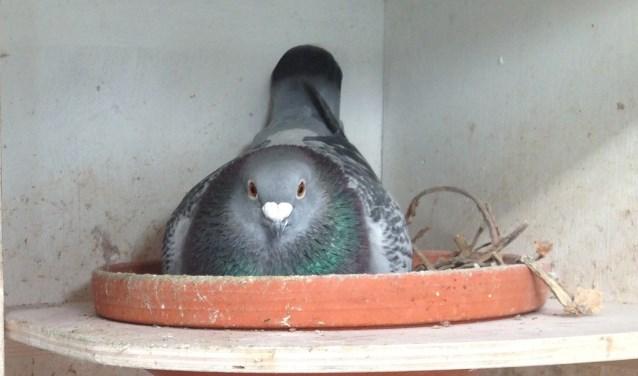 Duif op nest. (foto: W. Geurtz)