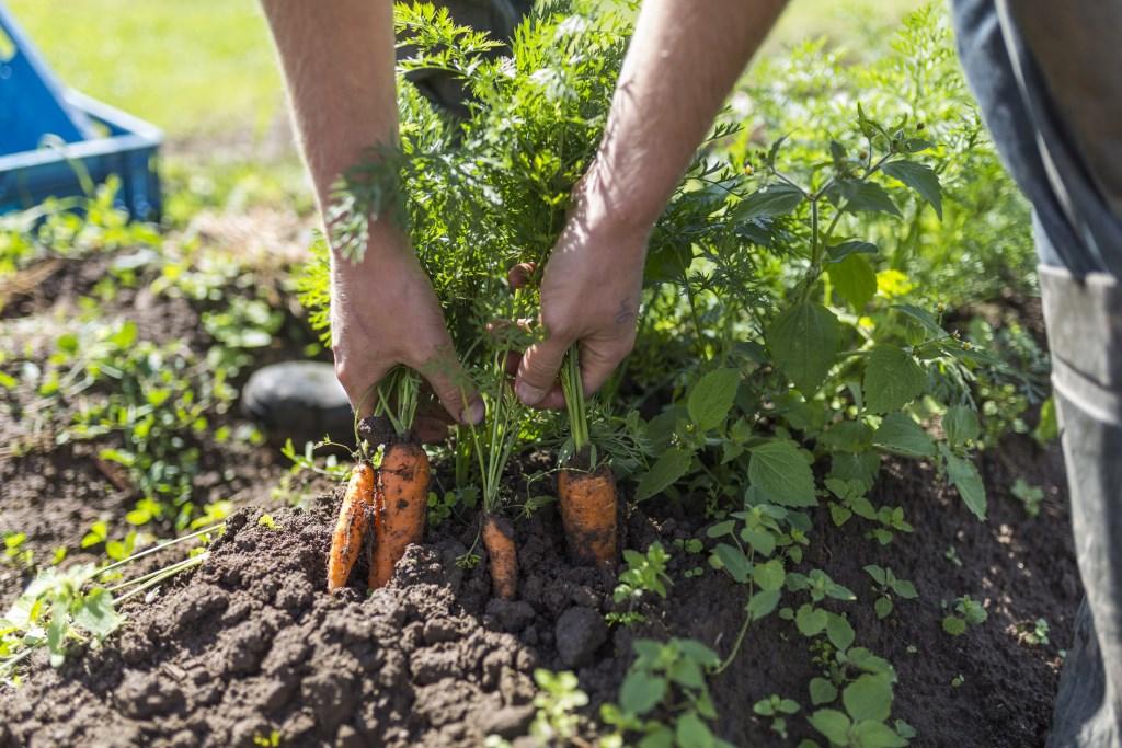 Wortels oogsten Foto: Pip Erken © Hét Gemeentenieuws